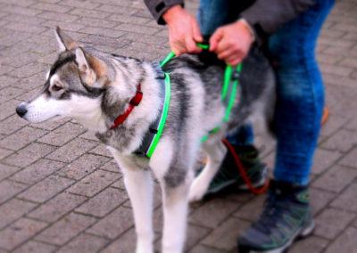 Mantrailing für Huskys