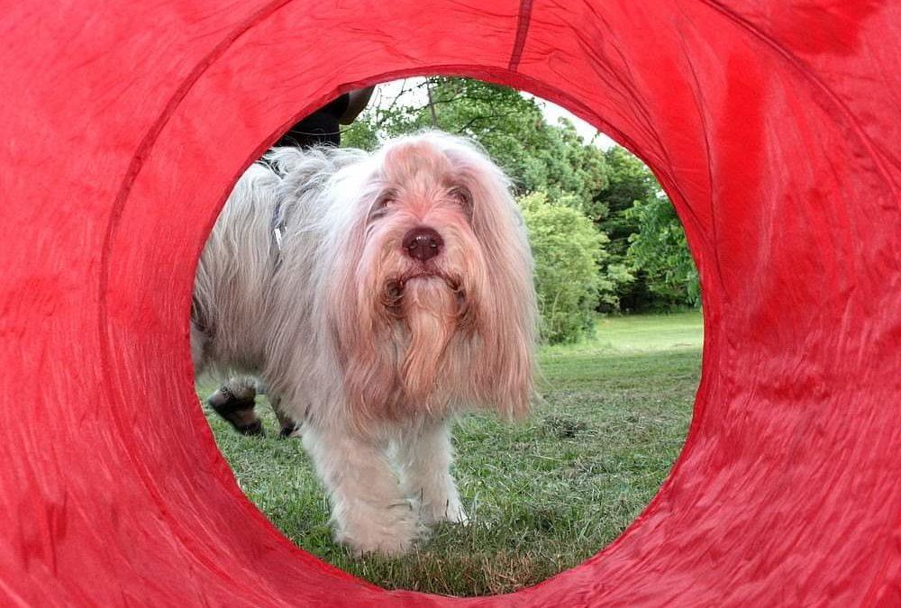 Mein derzeit ältester Trailhund….